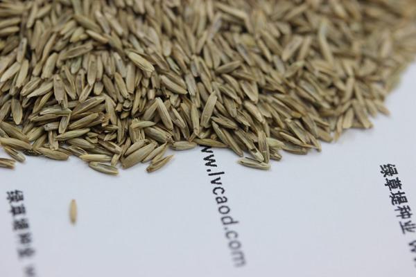 白标多年生黑麦草种子