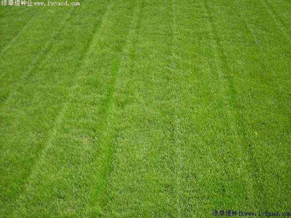 天鹅绒草坪种子的种植方法