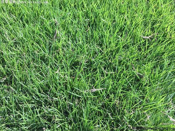 天鹅绒草坪