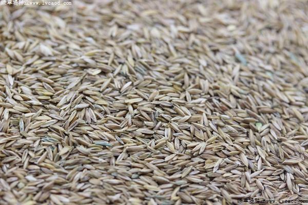 早熟禾种子出芽率不高是什么原因