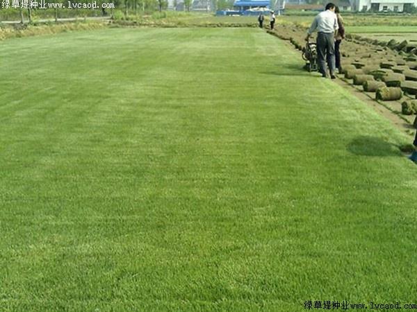 天堂草的种植方法