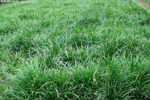 麦冬草种子的播种方法