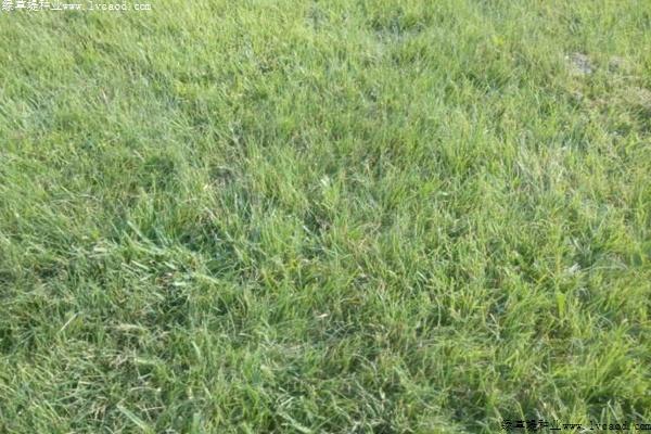 野牛草种子播种时间