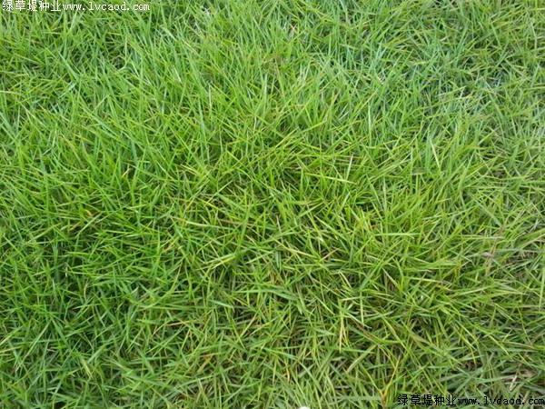 天鹅绒草生长特点和培育方法
