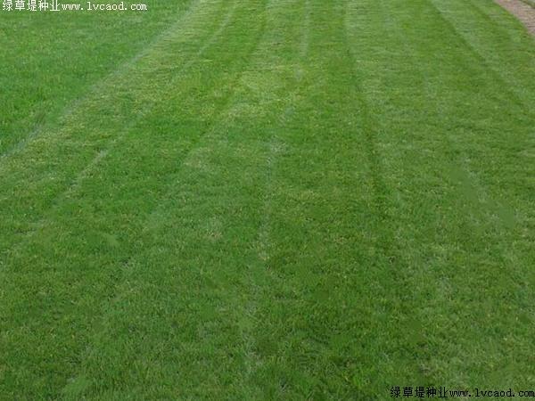 果岭草的春夏季管理与养护