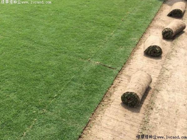 果岭草的春夏季的管理也是一个重要环节