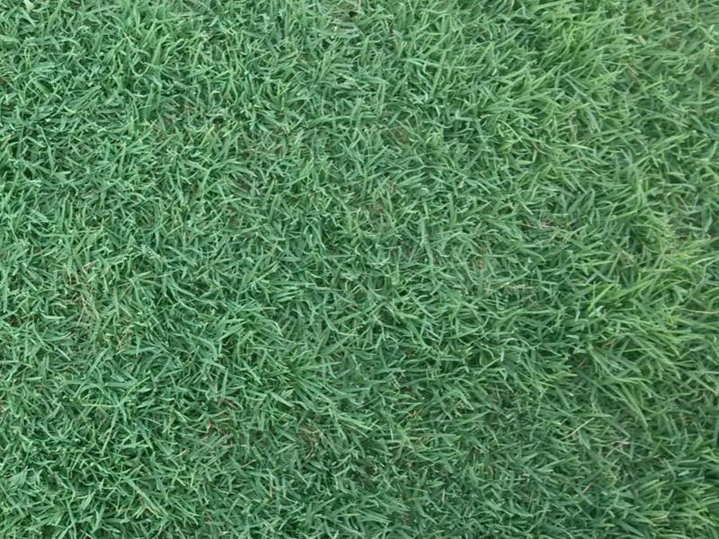早熟禾草坪的优缺点