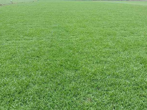剪股颖草坪它的优缺点都有哪些