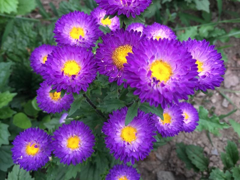 翠菊的药用图片