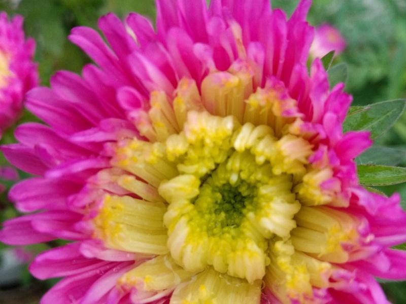 珍珠菊的药用价值图片
