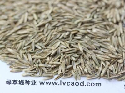 多年生护坡黑麦草种子