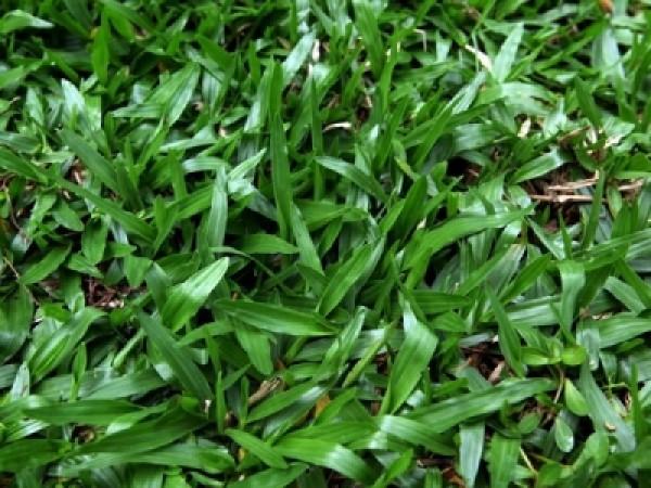 地毯草草籽多少钱一斤,一亩地需要多少种子