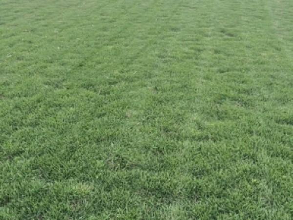 台湾2号草坪种子发芽率怎么样