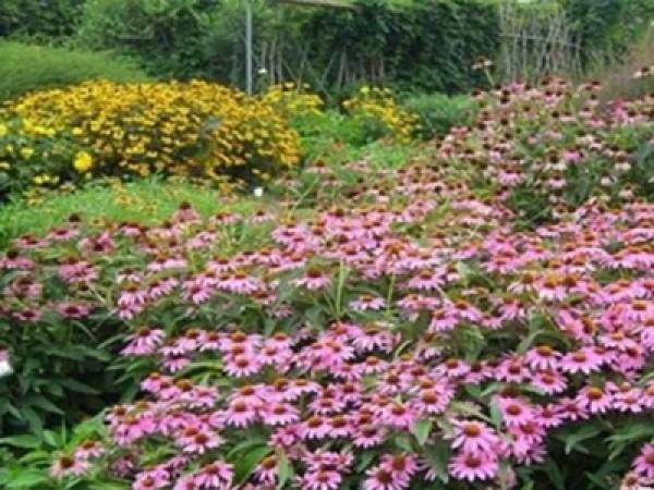 宿根花卉—松果菊